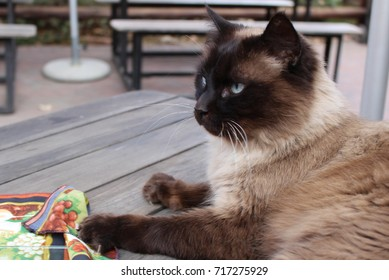 Balinese Cat Resting On Table