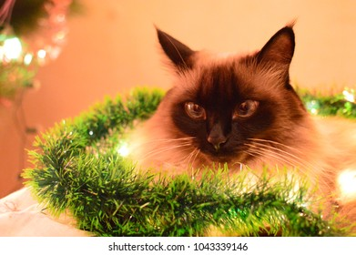 Balinese cat sitting on the bed with the garland on the background of Christmas tree and LED lights