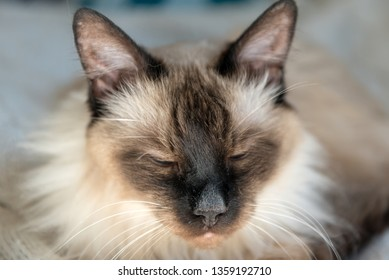 Balinese cat squeezing eyes on the sun. Close up.