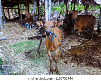 Balinese Cattles In The Cages At The Farming Area Of Ringdikit Village, Buleleng, North Bali, Indonesia