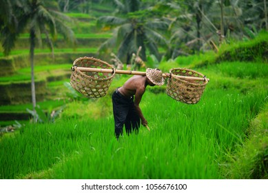 Balinese farmer with a basket working on green rice terraces UBUD, Indonesia, Bali