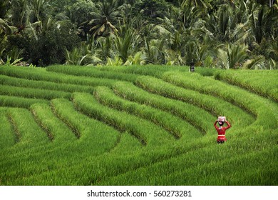 Balinese Lady at the rice field wearing red dress