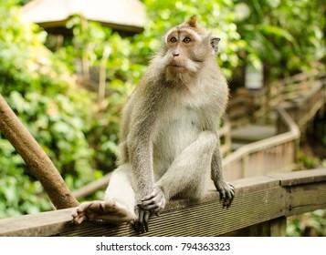 Balinese long tailed monkey