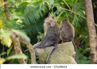 balinese monkey with close eyes at ubud forest