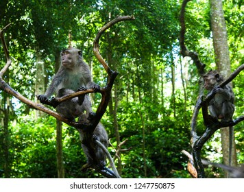 Balinese monkeys sitting on branches in jungle