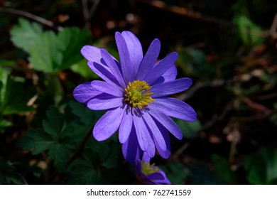 A Balkan anemone or winter windflower growing in the shadow and hit by sunlight