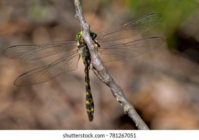 Balkan goldenring dragonfly - Cordulegaster heros - male