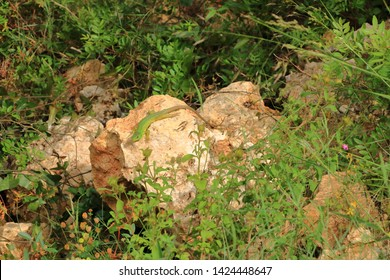 Balkan green lizard, Lacerta trilineata, Crete in Greece