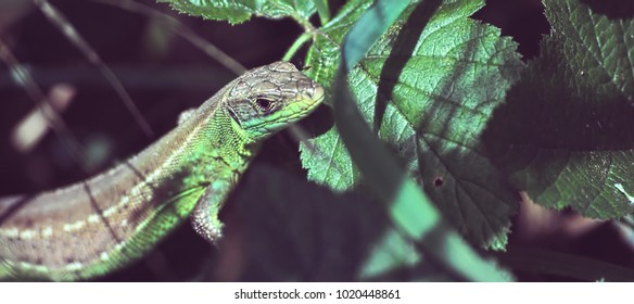 Balkan Green Lizard sunbathing camouflaged among the leaves