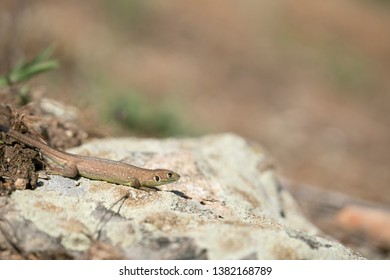 Balkan wall lizzard,Podarcis tauricus,juvenille, year old