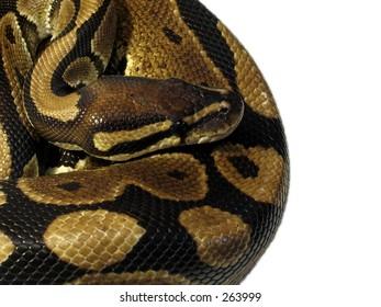 Ball Python isolated on white