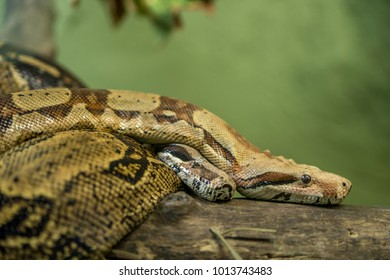 The ball python, also known as the royal python, is a python species found in sub-Saharan Africa. Like all other pythons, it is a nonvenomous constrictor.