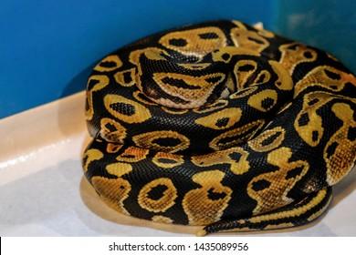 ball python on a brown wood color.Purple Albino Ball Python on white background.