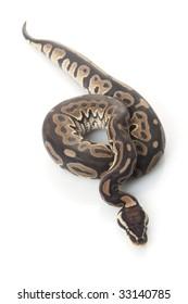 ball python (Python regius) isolated on white background.