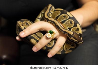 The ball python (Python regius), also known as the royal python