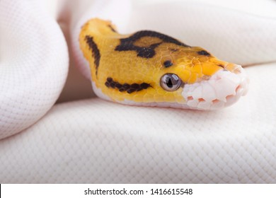 Ball python (Python regius) piebald