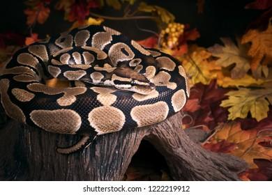 The ball python (Python regius), royal python. Autumn, boa on hemp, wintering problem