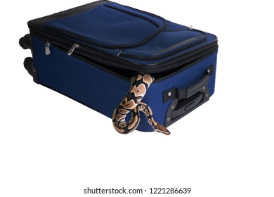 The ball python (Python regius), royal python. Snake escapes from a suitcase. Isolated on white background