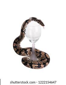 The  ball python (Python regius), royal python. Snake wraps a wine glass. Isolated on white background
