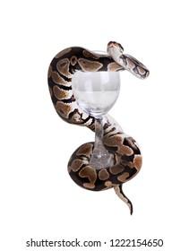 The  ball python (Python regius), royal python. Snake wraps the glass. Isolated on white background