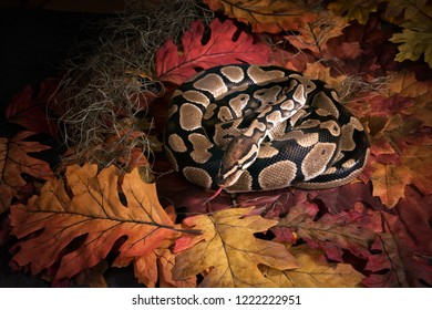 The ball python (Python regius), royal python. The snake curled up and stuck out her tongue on the autumn leaves