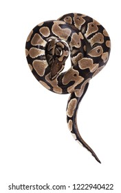 The ball python (Python regius), royal python. Snake lies in the shape of a heart. Isolated on white background