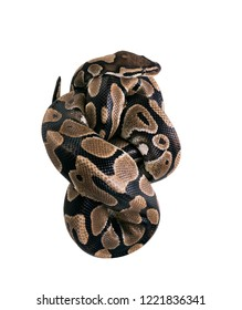 The  ball python (Python regius), royal python. Tight packaging, Snake packing. Isolated on white background