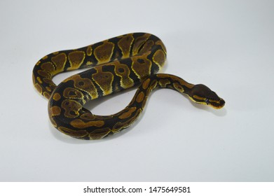 Royal Python Images, Stock Photos & Vectors | Shutterstock