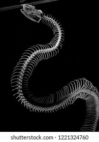 Ball python swims up to the water surface to take in air. X-ray showing its skeleton.