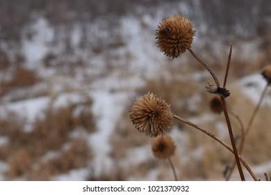 Ball weeds at winter.