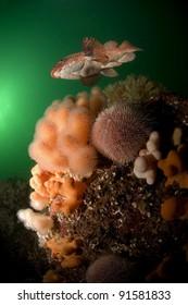 Ballan wrasse swimming over Scottish reef