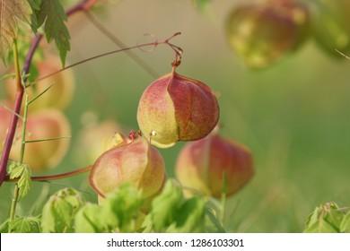 Ballon Vine or Cardiospermum halicacabum, Love In A Puff