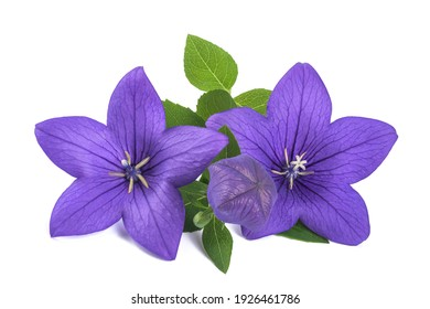 Balloon flowers with bud  isolated on white background