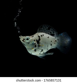 Balloon Silver Molly fish on black