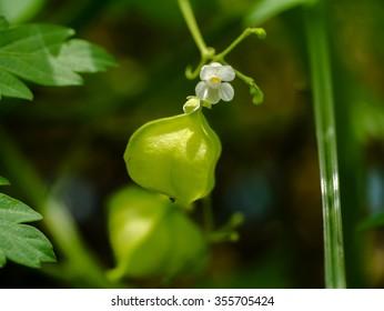 Balloon vine, Heart pea, Heart seed, Smooth leaved Heart Pea flower. (Cardiospermum Halicacabum Linn.) Herbs with medicinal properties.