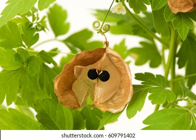 Balloon vine, Heart pea, Heart seed, Smooth leaved heart Pea,tree ,seeds and fruits have properties medicine.