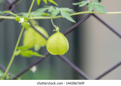balloon vine plant or love in a puff  climbing on the wired fence, showing balloon-like fruits. scientific name is cardiospermum halicacabum