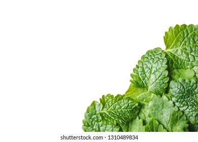 Balm mint leaves isolated on white. Empty copy space green lemon balm leaf studio background.
