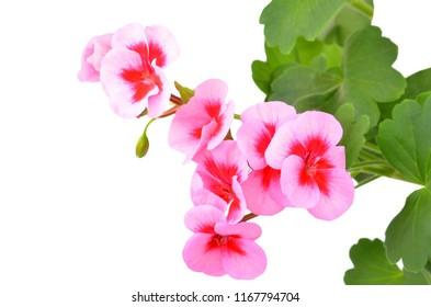 Balmy Geranium flower, isolated on white background