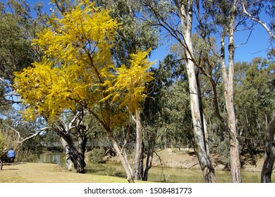 Balranald, New South Wales, Australia, September 2, 2019. Flowering Trees in a Scenic Picnic Area by the Murrumbidgee River