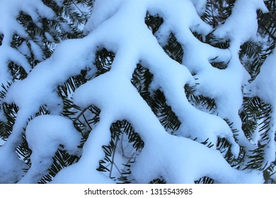 Balsam fir (Abies balsamea) covered in snow on a cold winter evening. Lovely nature texture and background.