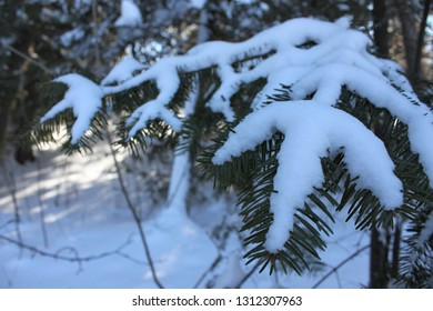 Balsam Fir (Abies balsamea) needles covered in snow with a winter forest background. Lovely capture of the North Woods in February. Taken in Ashland, Wis.