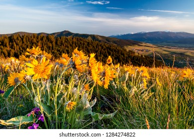 Balsam Root Flowers in Sunlight above Missoula Valley, Missoula, Montana