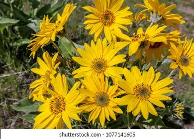 Balsam root wild flowers in Boise, Idaho