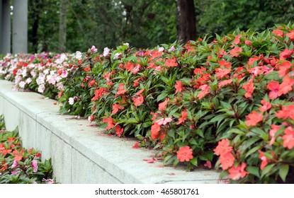 Balsaminaceae in the garden