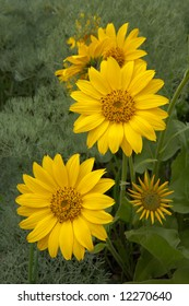 Balsamroot sunflower bouquet