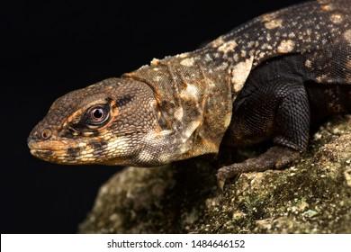 Balsas Spiny-tailed Iguana (Ctenosaura clarki|)