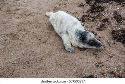 Baltic Grey Seal Pup ñrawls into the sea, Engure, Kurzeme, Latvia