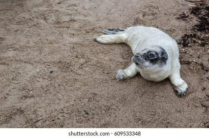 Baltic Grey Seal Pup on sandy beach, Engure, Kurzeme, Latvia
