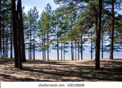 Baltic sea coast, pine trees and a sand shore on summer sunny day near St. Petersburg, Russia.